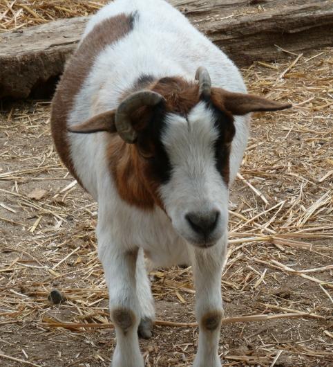 Une de mes chèvres